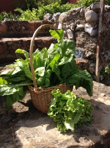 perpetual spinach and lettuce grown through the winter in my back garden