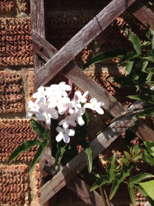 Jasmine flowers: planted out into the ground from a small pot