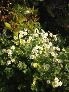 growing feverfew in my garden