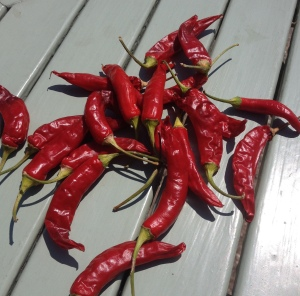 sun dried chillies on my garden table